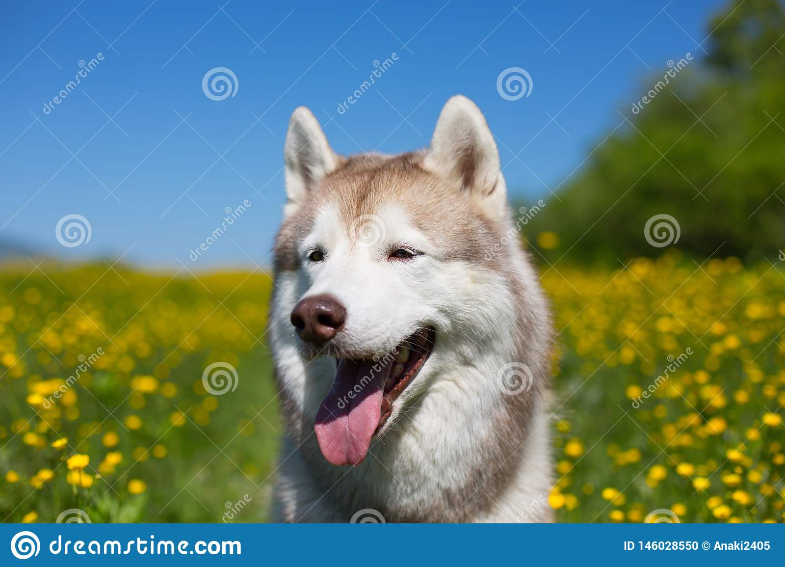 dog breed siberian husky is in the buttercup field in summer on the yellow flowers, green grass and blue sky background