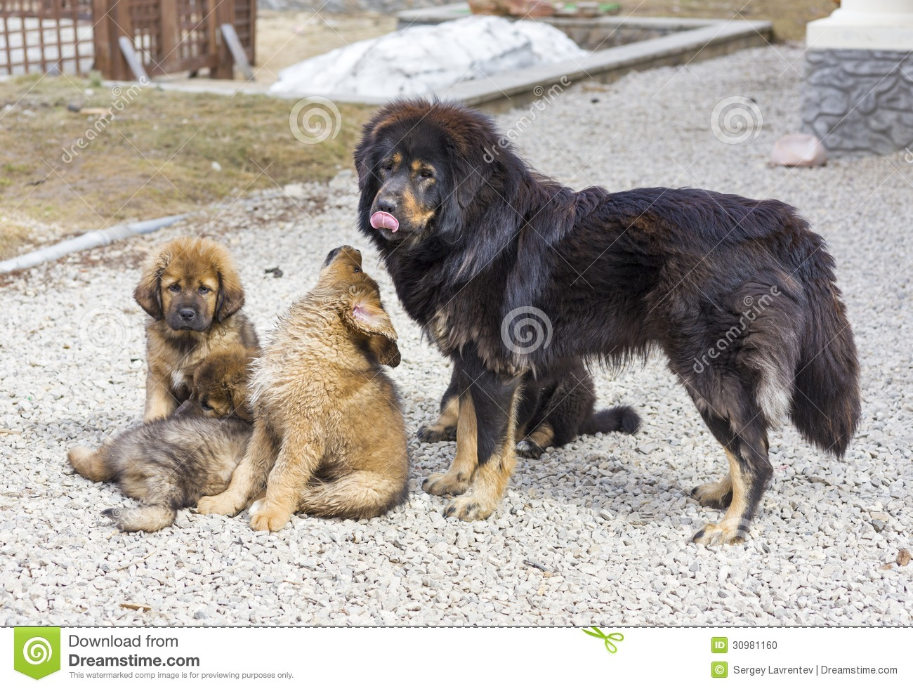 Dog Breed Tibetan Mastiff With Puppies Stock Photo - Image of black