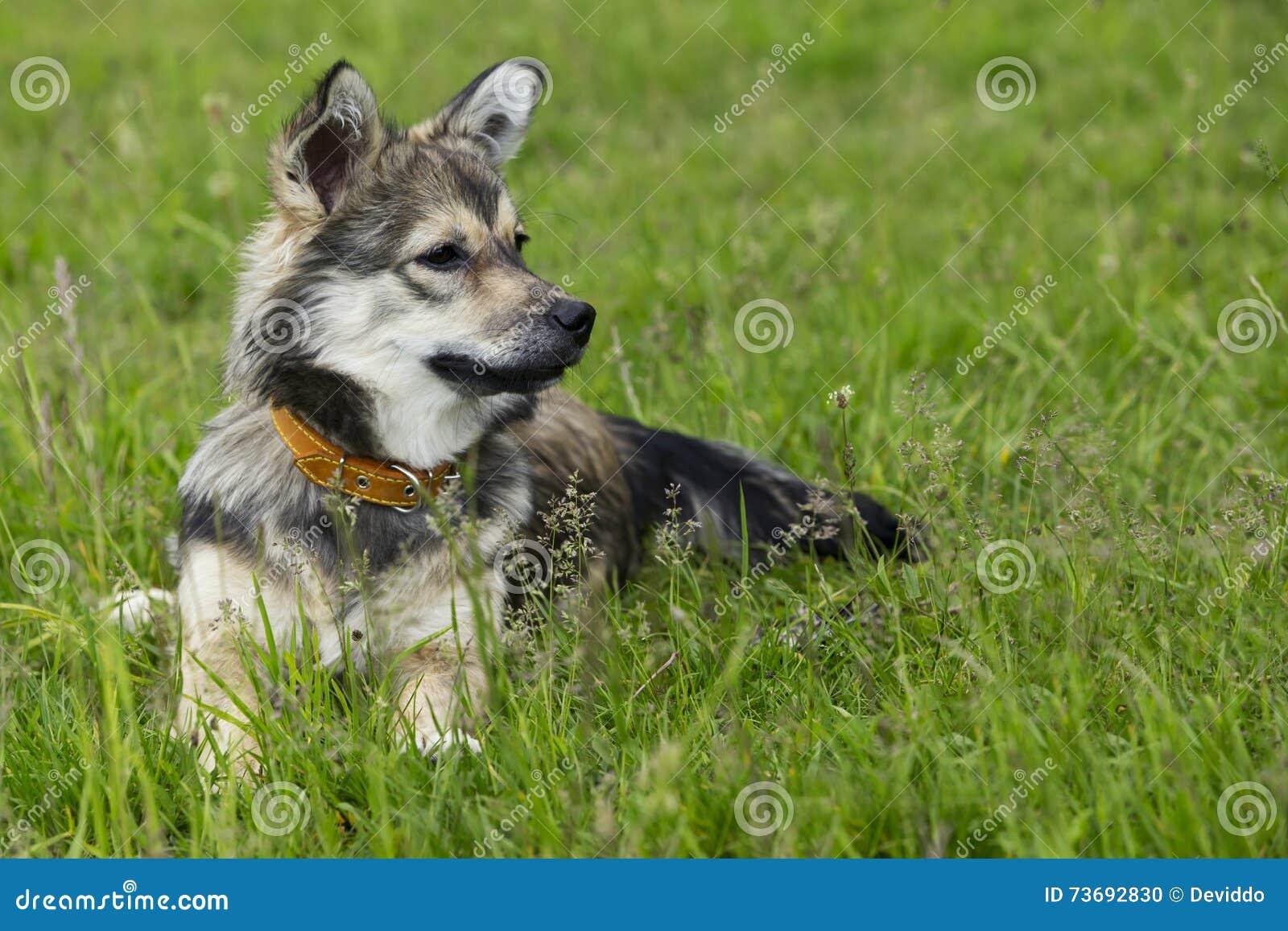 Dog breed Visigoth Spitz