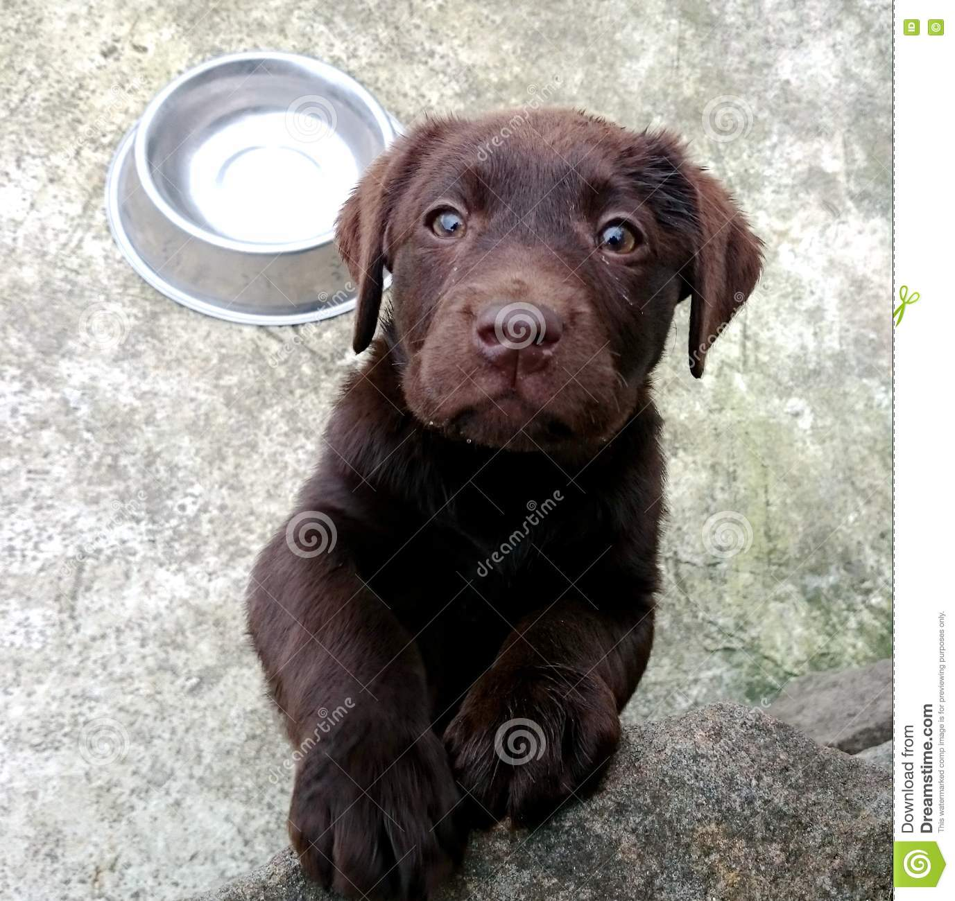 Dog Breeders Chocolate Labrador Puppy For Sale Stock Image