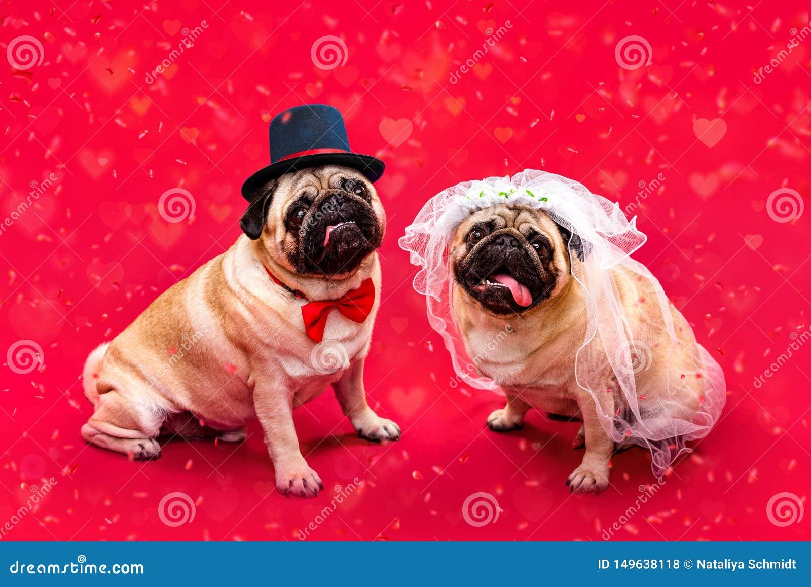 Dog bride and groom. Two pugs. Dog wedding. Bride and groom