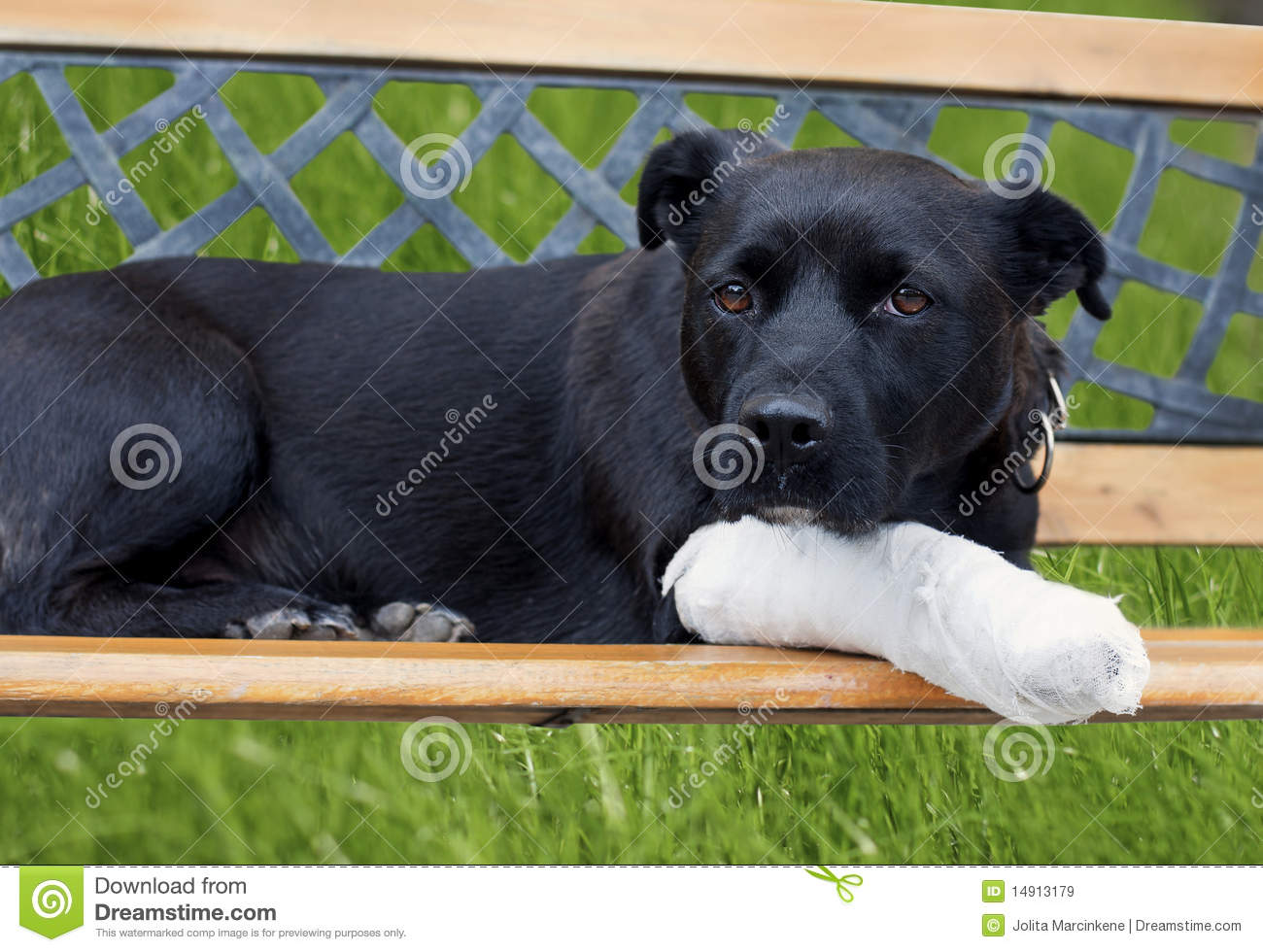 dog with broken leg royalty free stock images   image