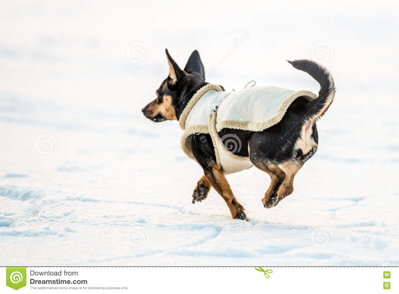 Dog with clothes run on snow