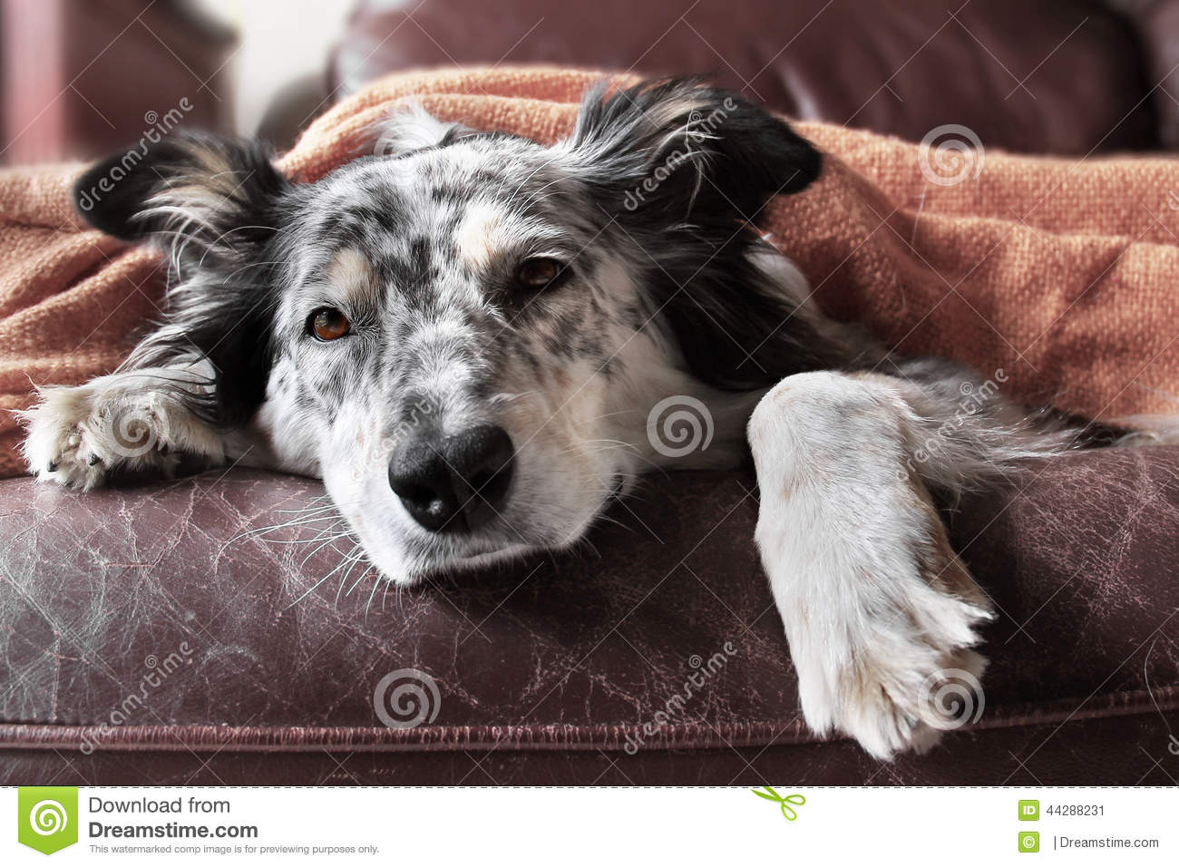 Dog On Couch With Blanket Looking Sad Sick Bored Lonely