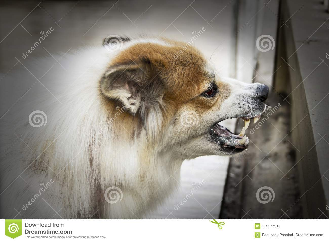 Dog crazy threaten show fangs have drooling. is a symptom of rabies.