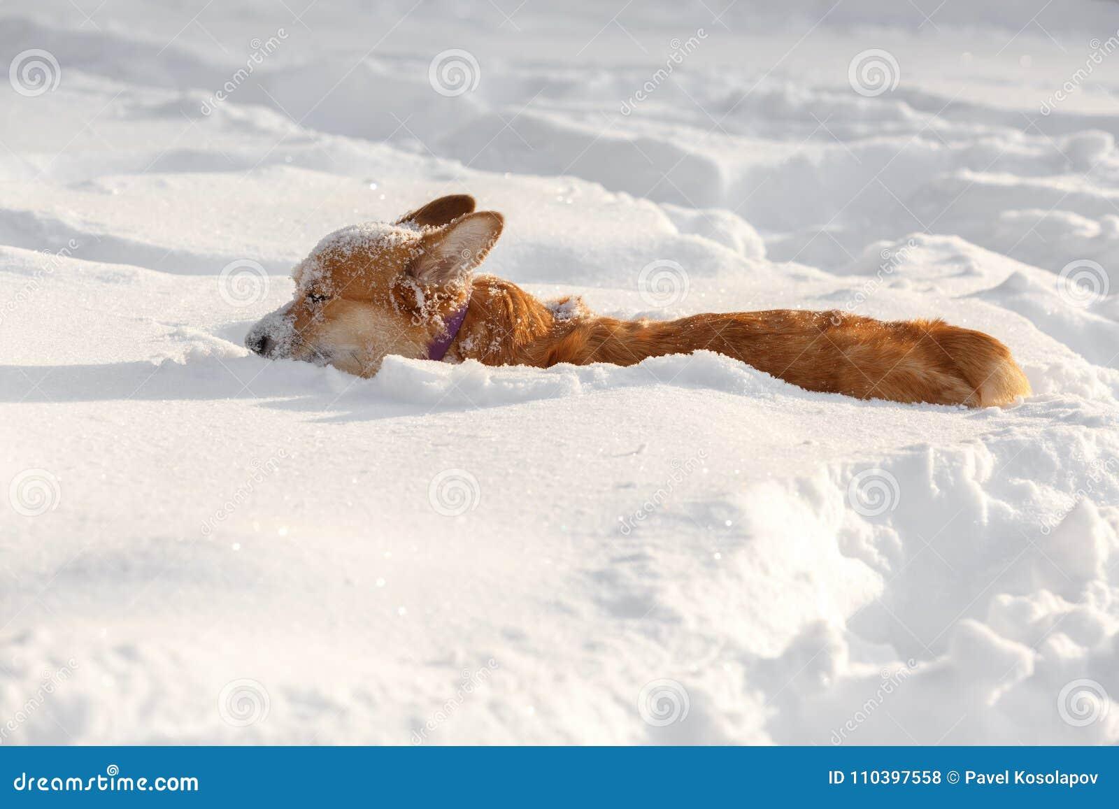 Dog den walesiska Corgikoftan i vintern i snön