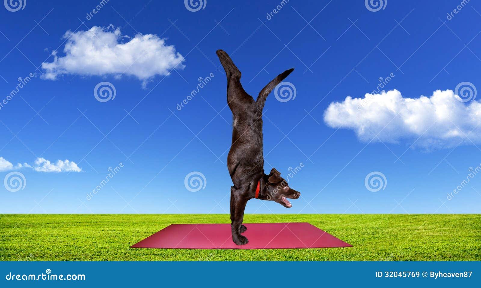 Dog Doing Yoga Royalty Free Stock Images Image 32045769