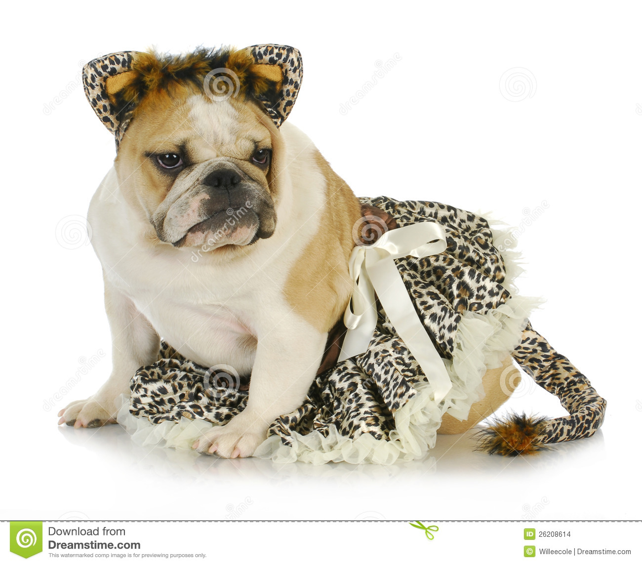 Dog dressed like a cat - english bulldog wearing cat costume on white ...