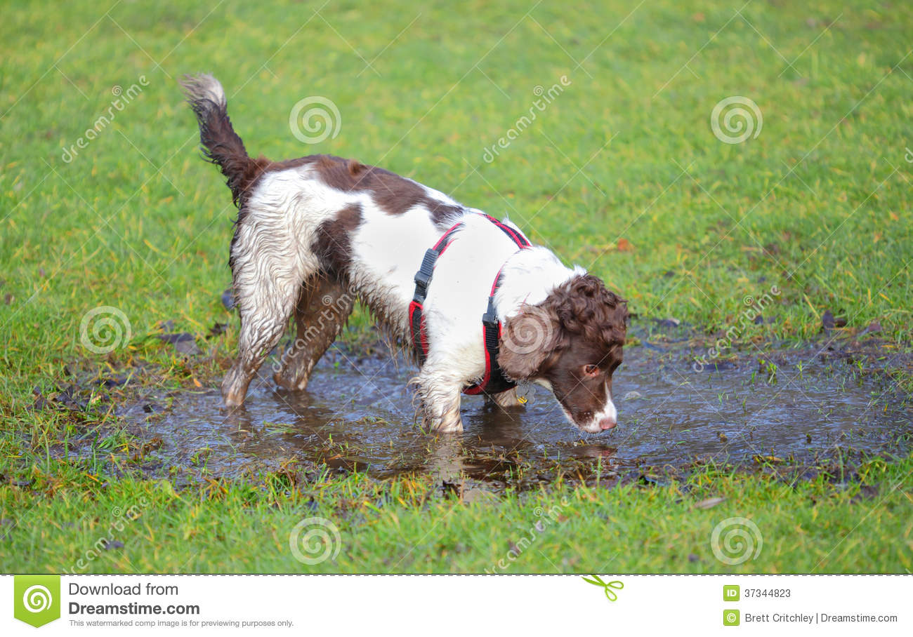 Dog Drinking Puddle Water