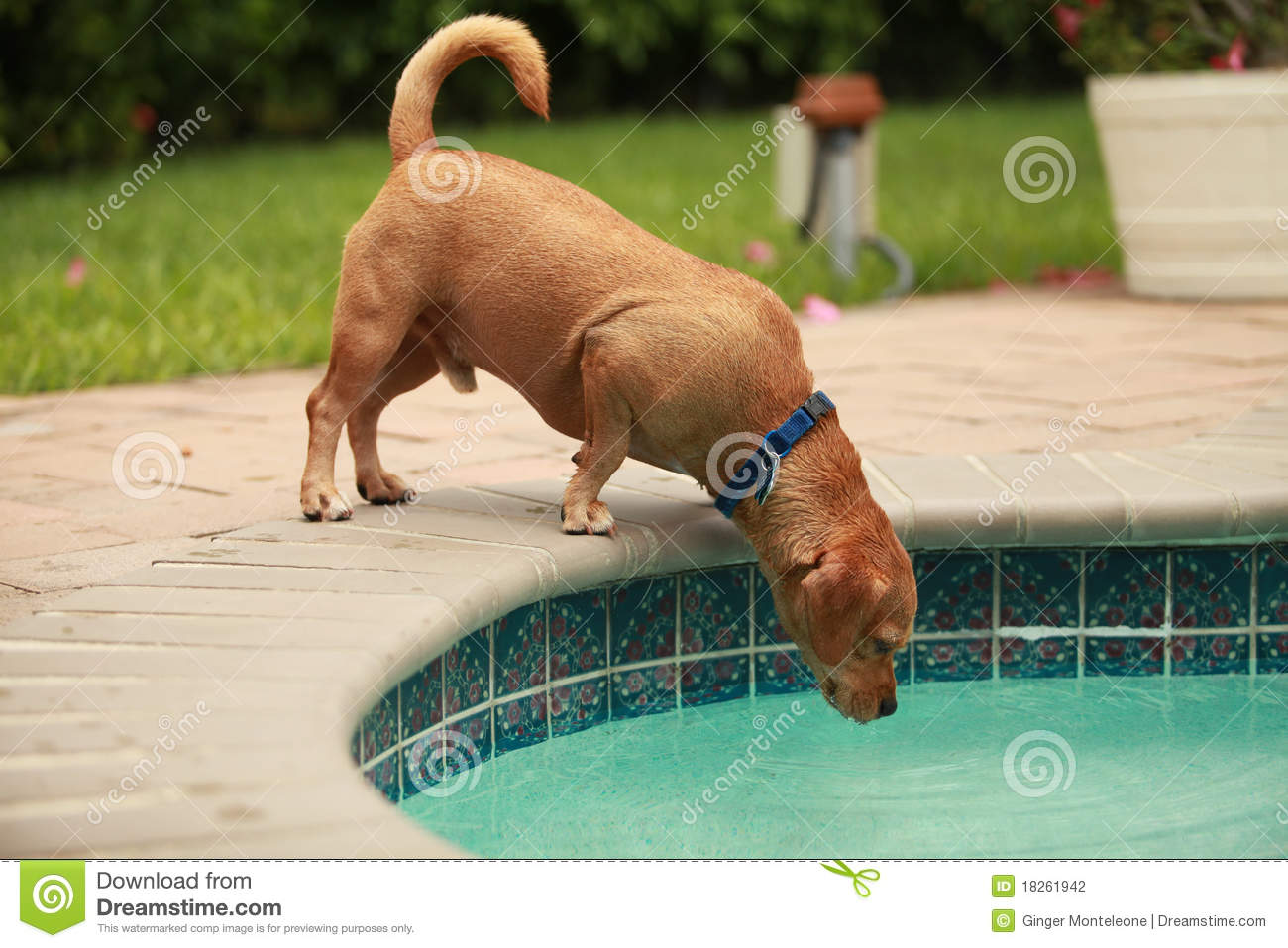 Dog Drinking Pool Water Stock Photo Image Of Pool Canine 18261942
