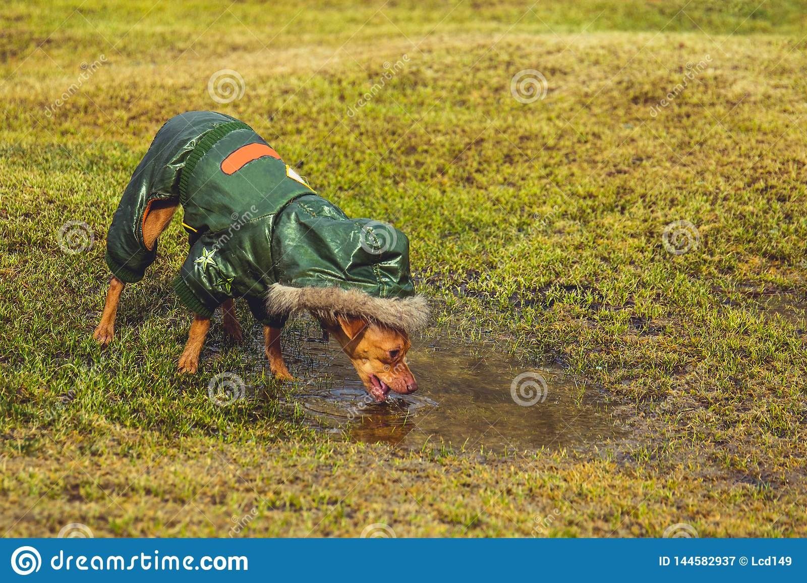 Dog drinking from a puddle