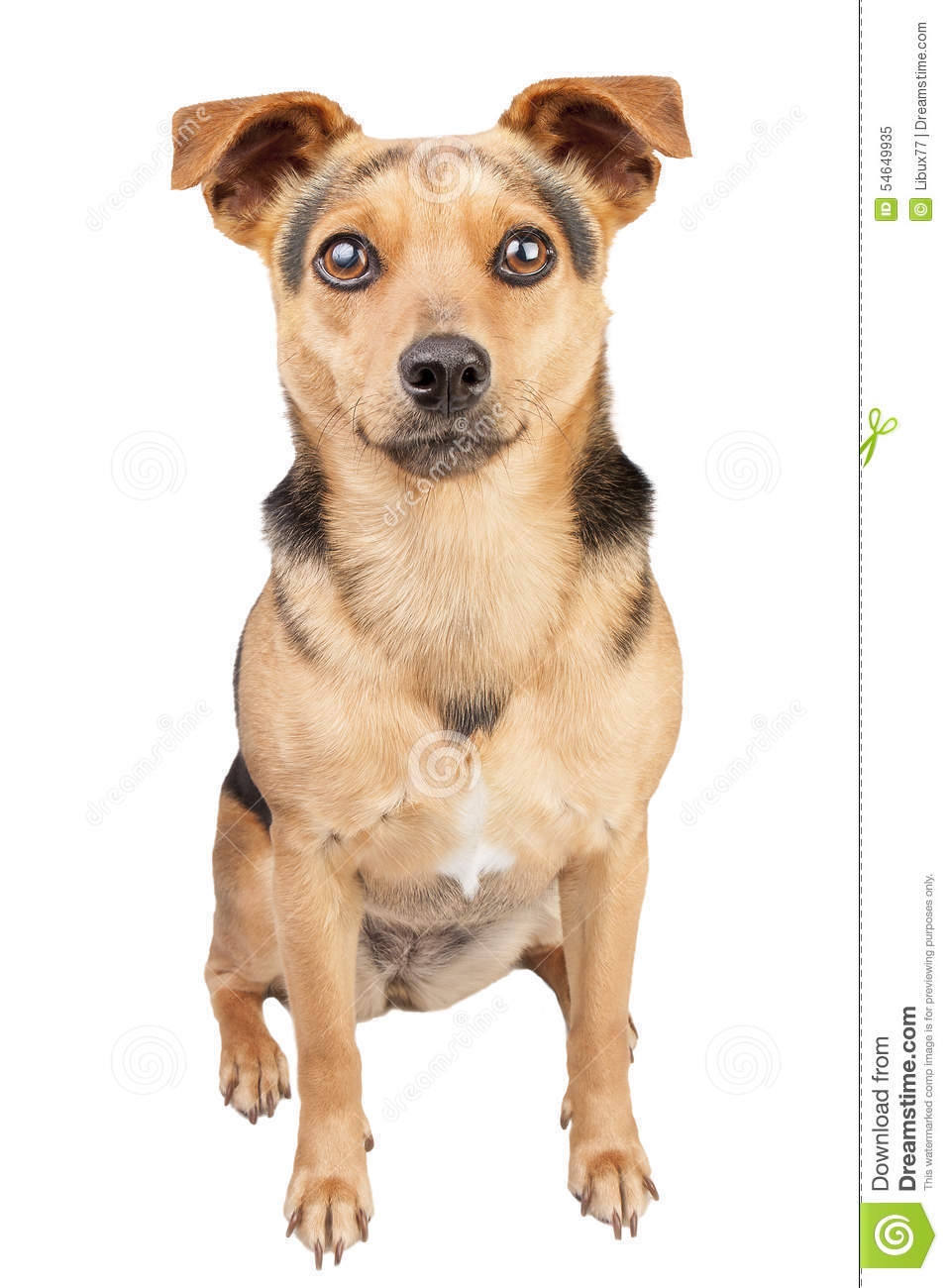 Dog Ears Up Small Fawn Looking Portrait Isolated