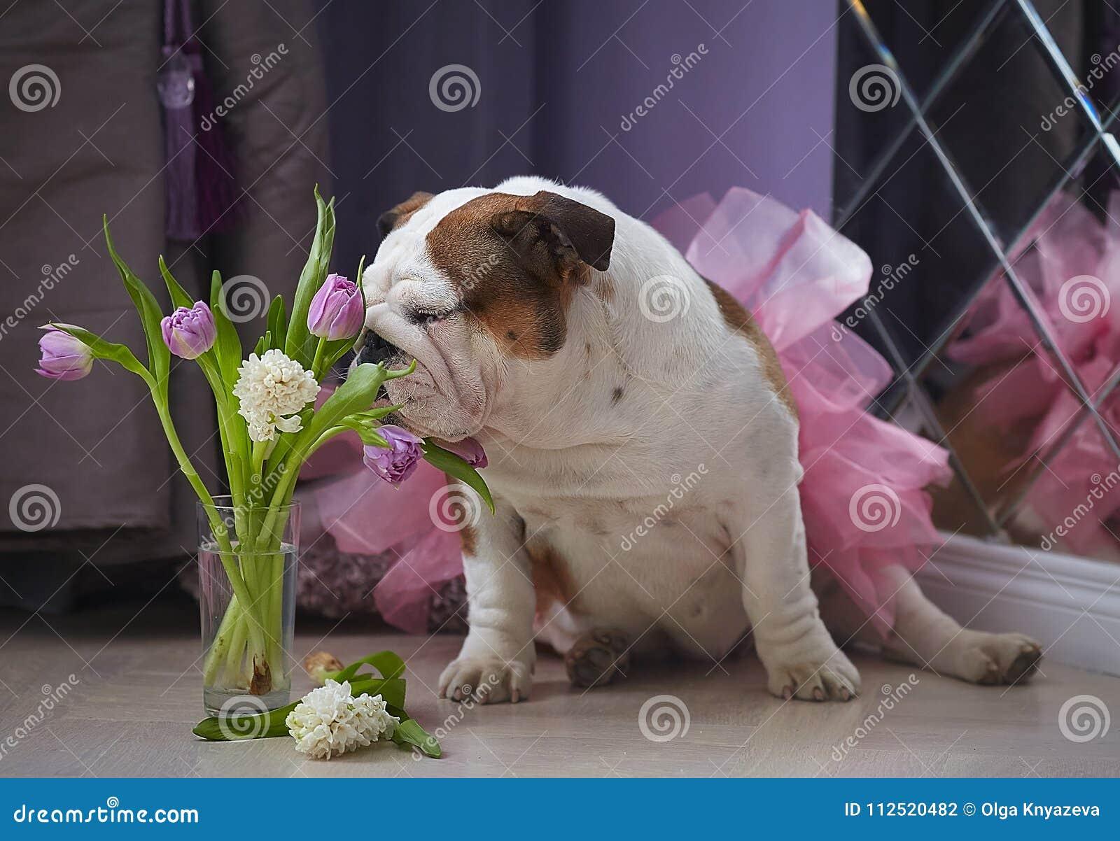 Dog English Bulldog Sniffing Flowers Stock Photo Image Of