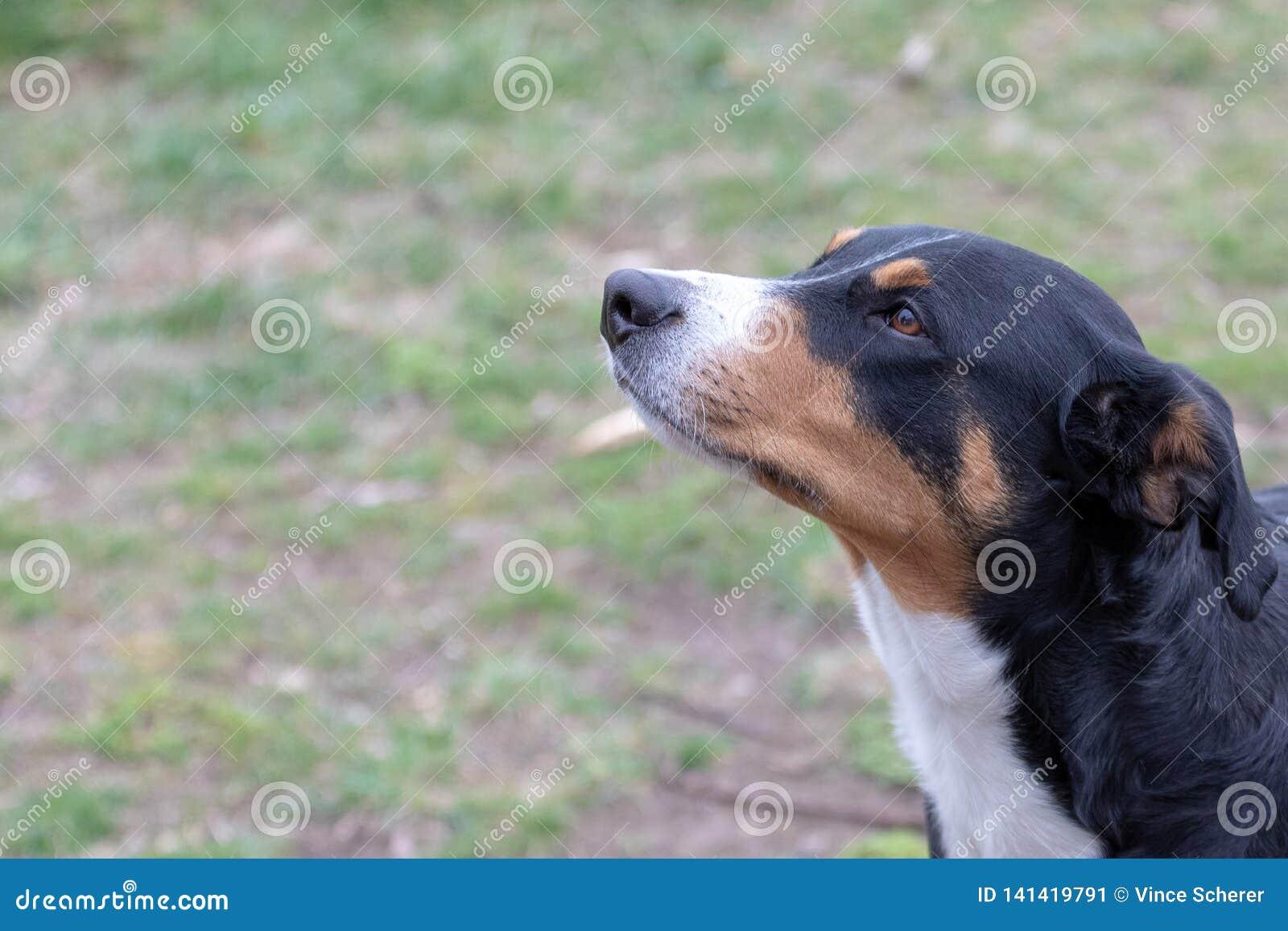 Dog Face Portrait Appenzeller Sennenhund Mountaindog