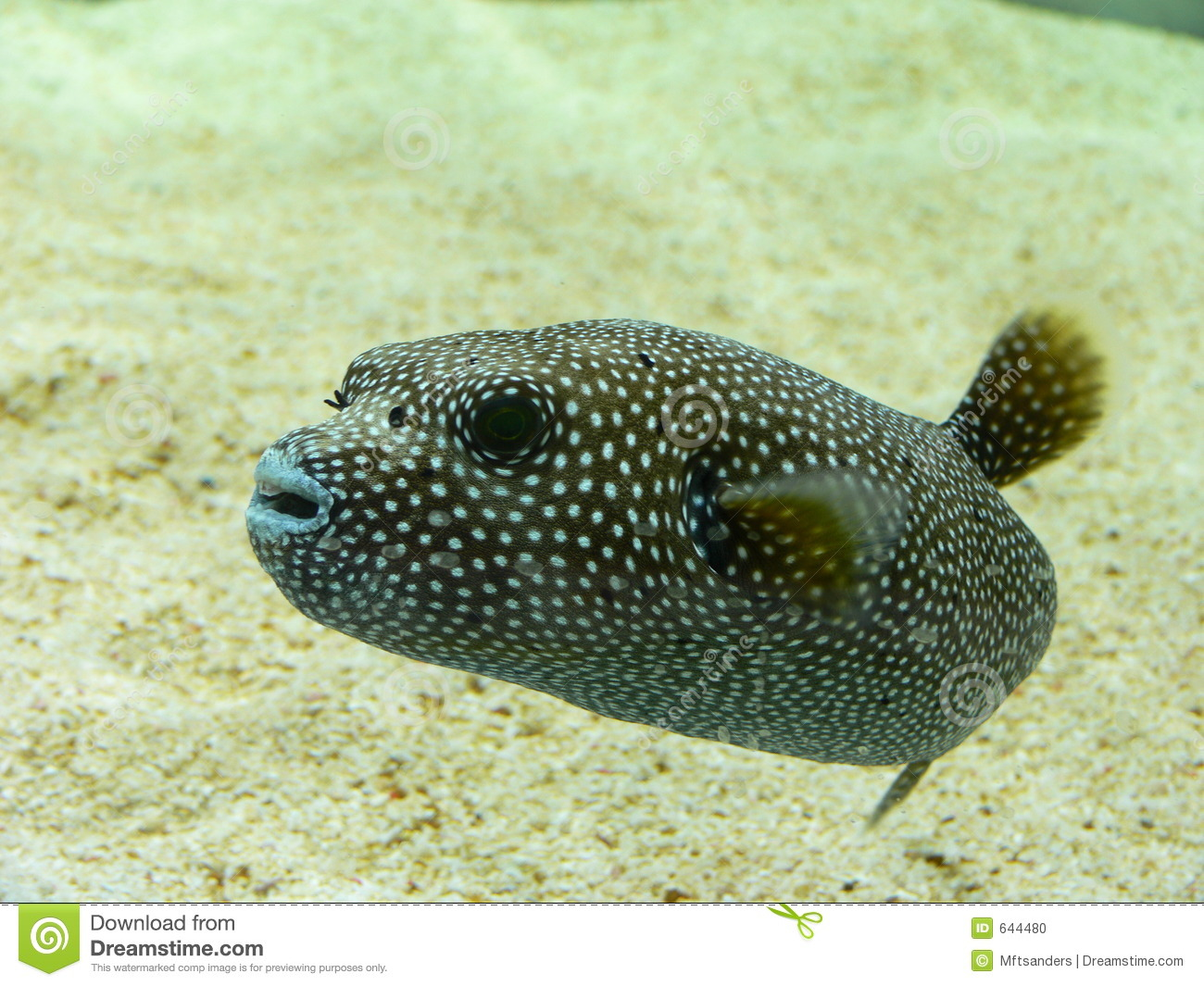 Dog faced puffer fish stock photo image 644480 for Dog face puffer fish