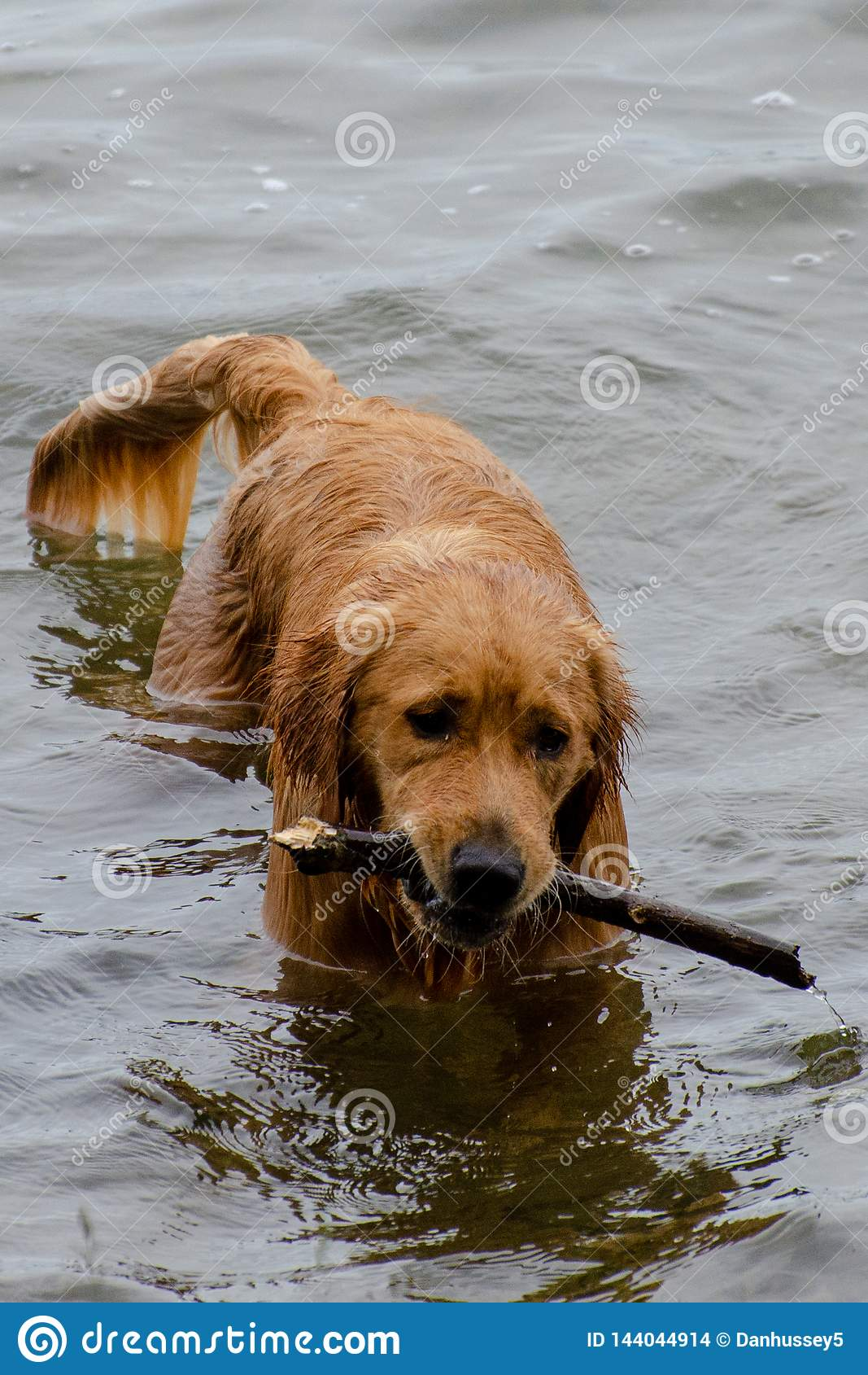 Dog fetching a stick in the lake