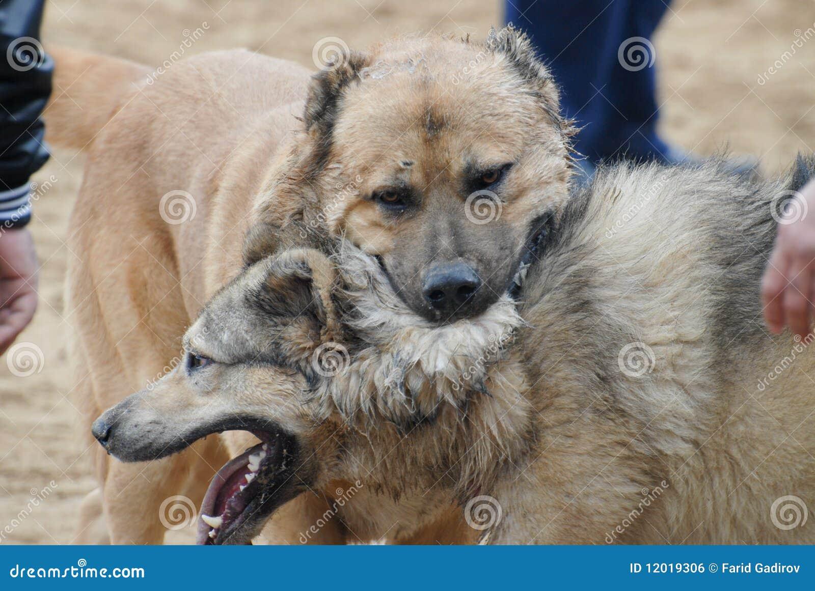 Dog Fight Royalty Free Stock Image - Image: 12019306
