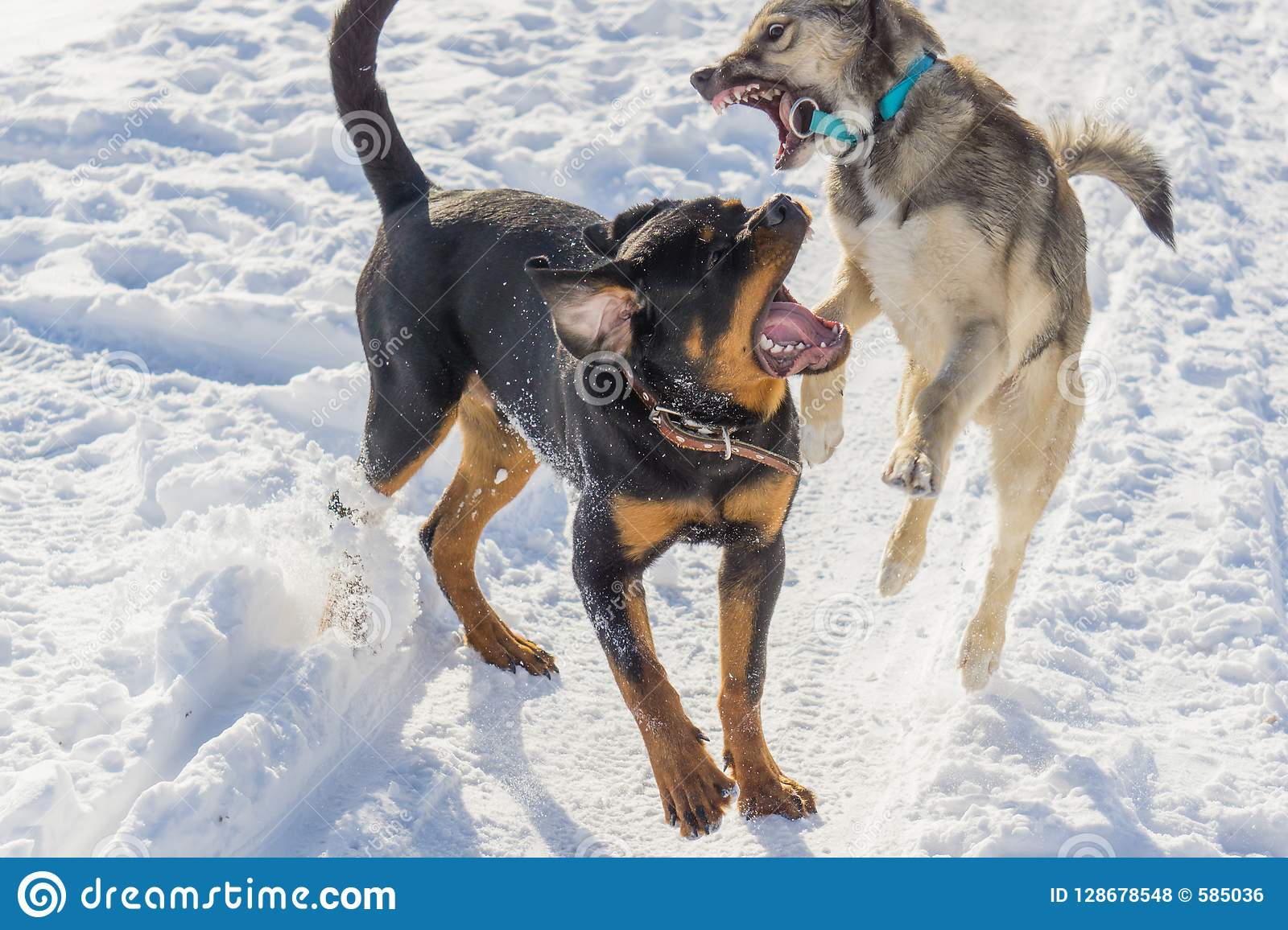 Dog fight in the winter