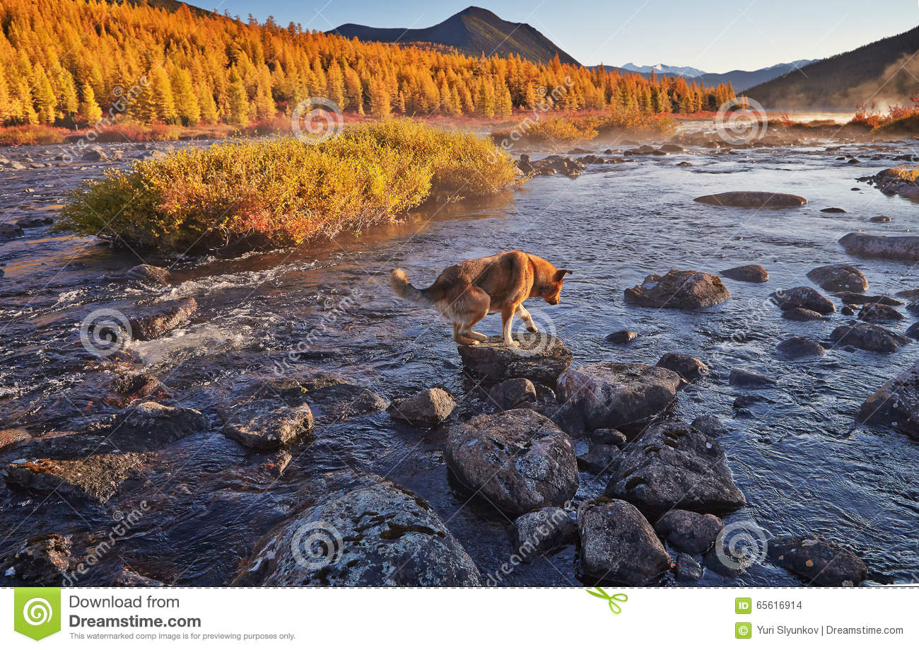 The dog forces the mountain river. Early autumn morning. Kolyma IMG_4669