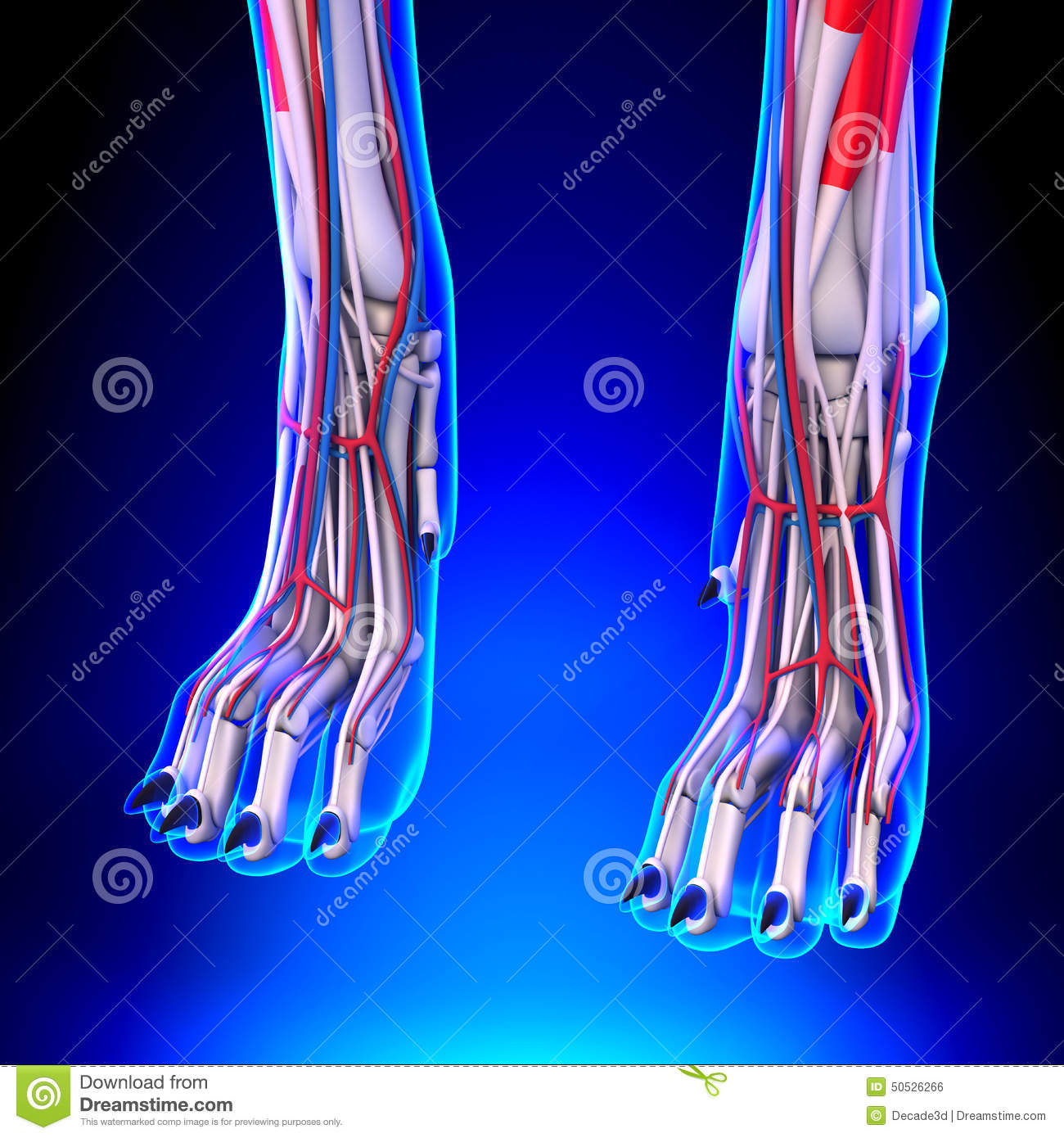 Dog Front Legs Anatomy With Circulatory System Stock Illustration