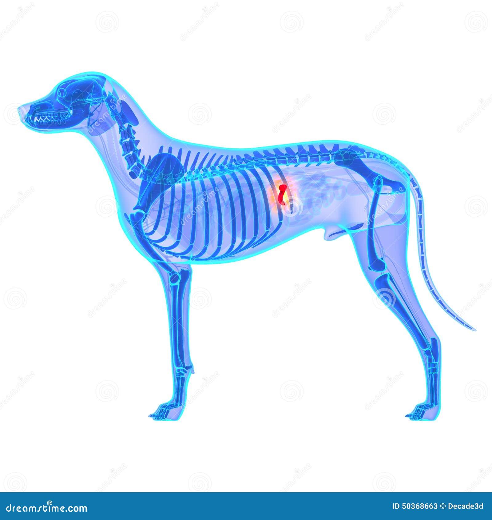 Dog Gallbladder Anatomy - Canis Lupus Familiaris Anatomy - Isola ...