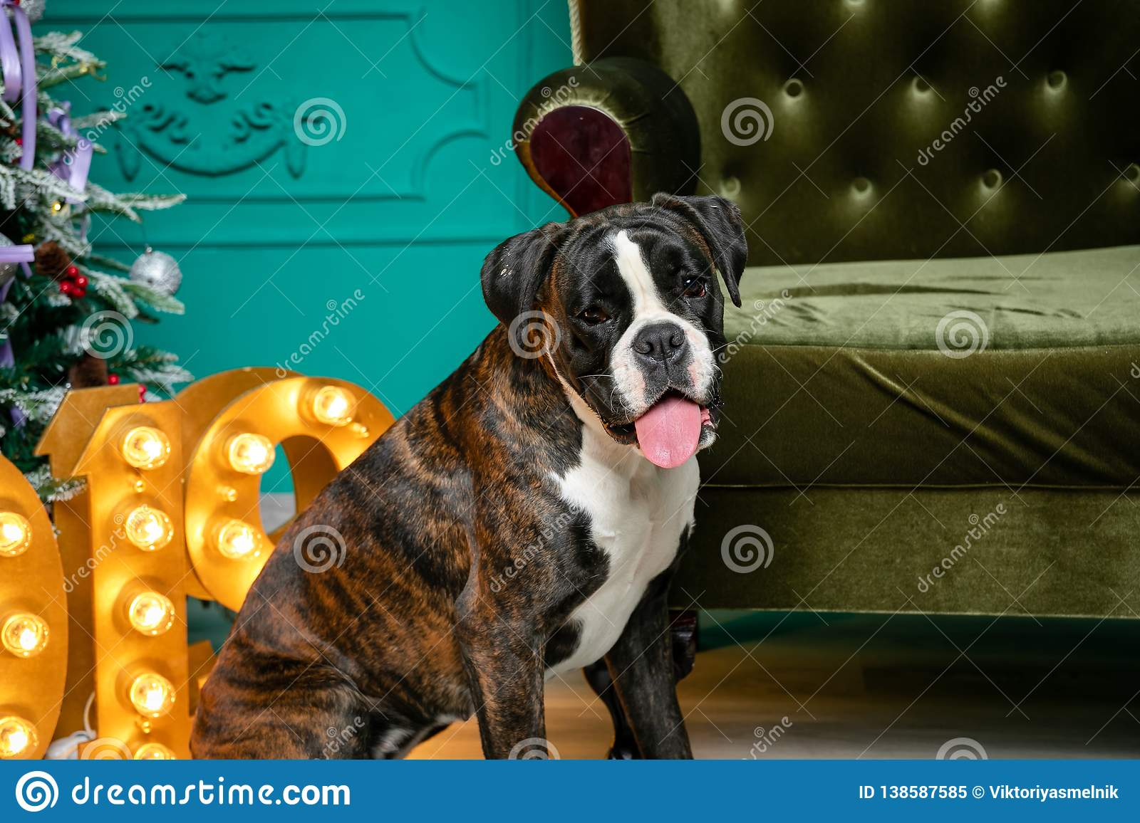 Dog, German boxer brown-and-white, with protruding tongue girl. sitting in front of the Christmas tree, burning figures 2019, gree