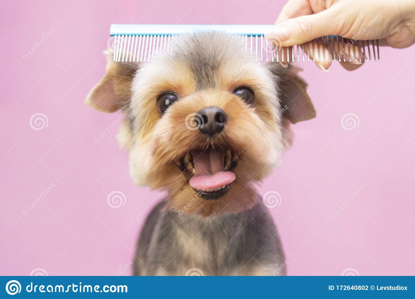 Dog Gets Hair Cut At Pet Spa Grooming Salon Closeup Of Dog The Dog Has A Haircut Comb The Hair Pink Background Stock Photo Image Of Groom Hairdresser 172640802
