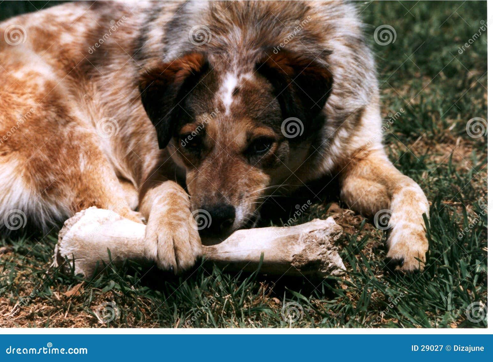 Dog Gnawing Bone