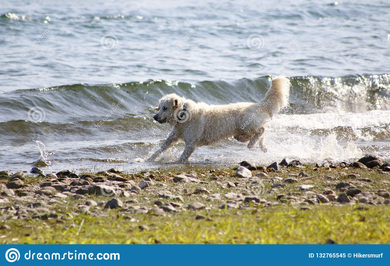 Dog, Golden Redriver jumps in the water, on the shore of the lake, around and enjoys the water drops, splashes