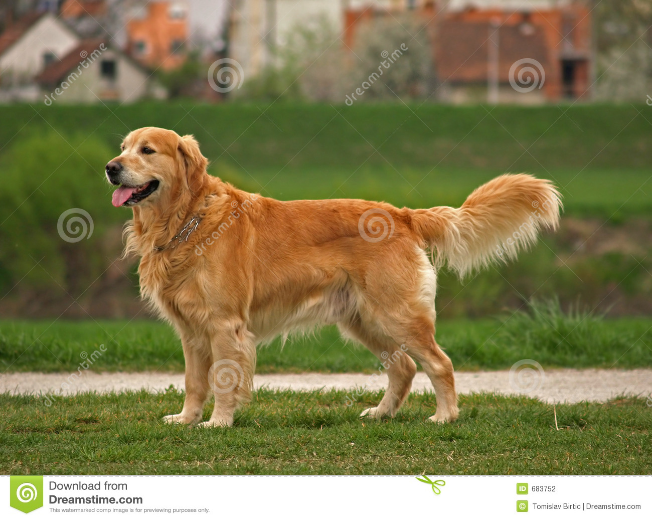 golden retriever puppy coloring pages discovery the best dog