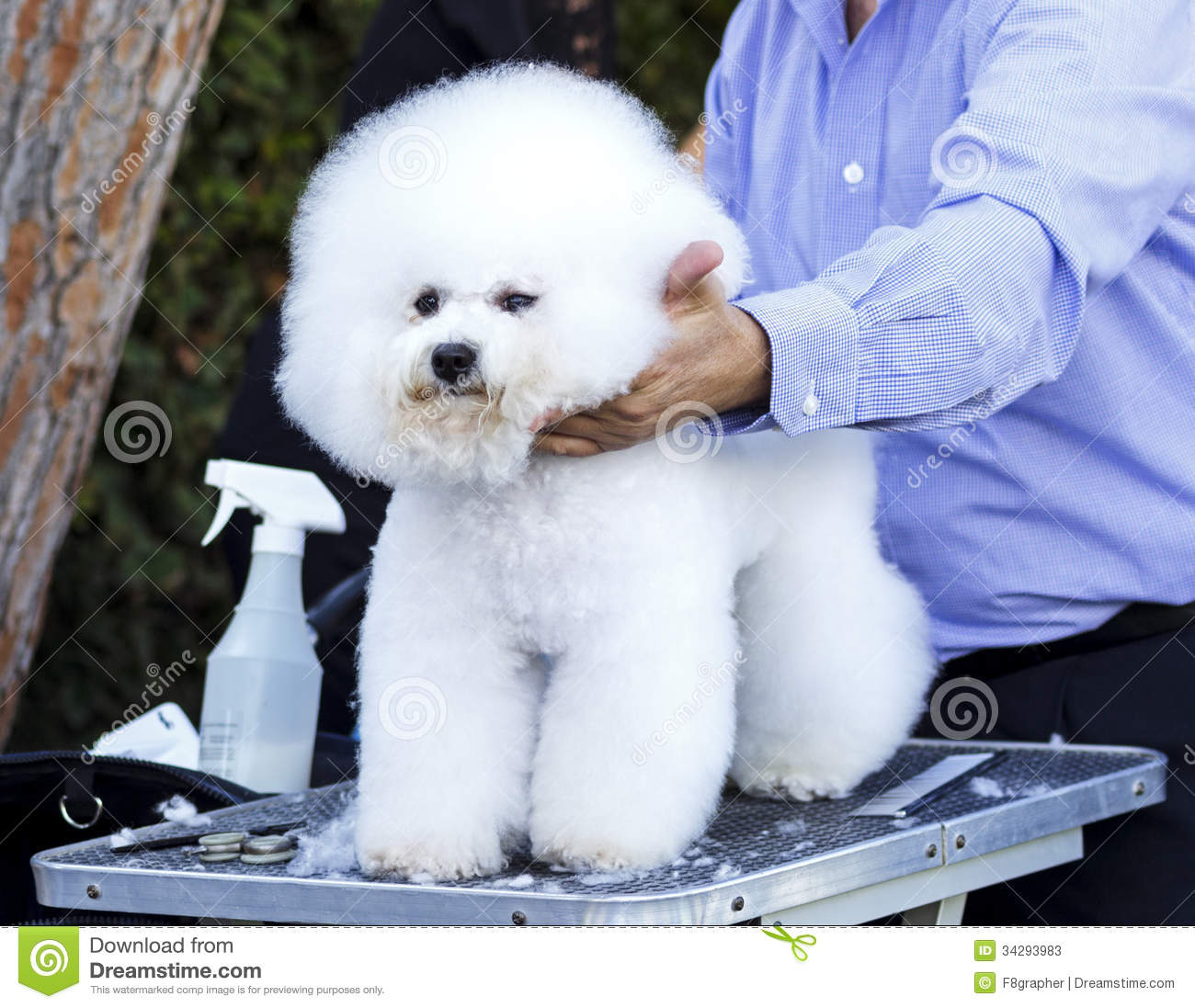 dog grooming stock image image of bred frise friendly