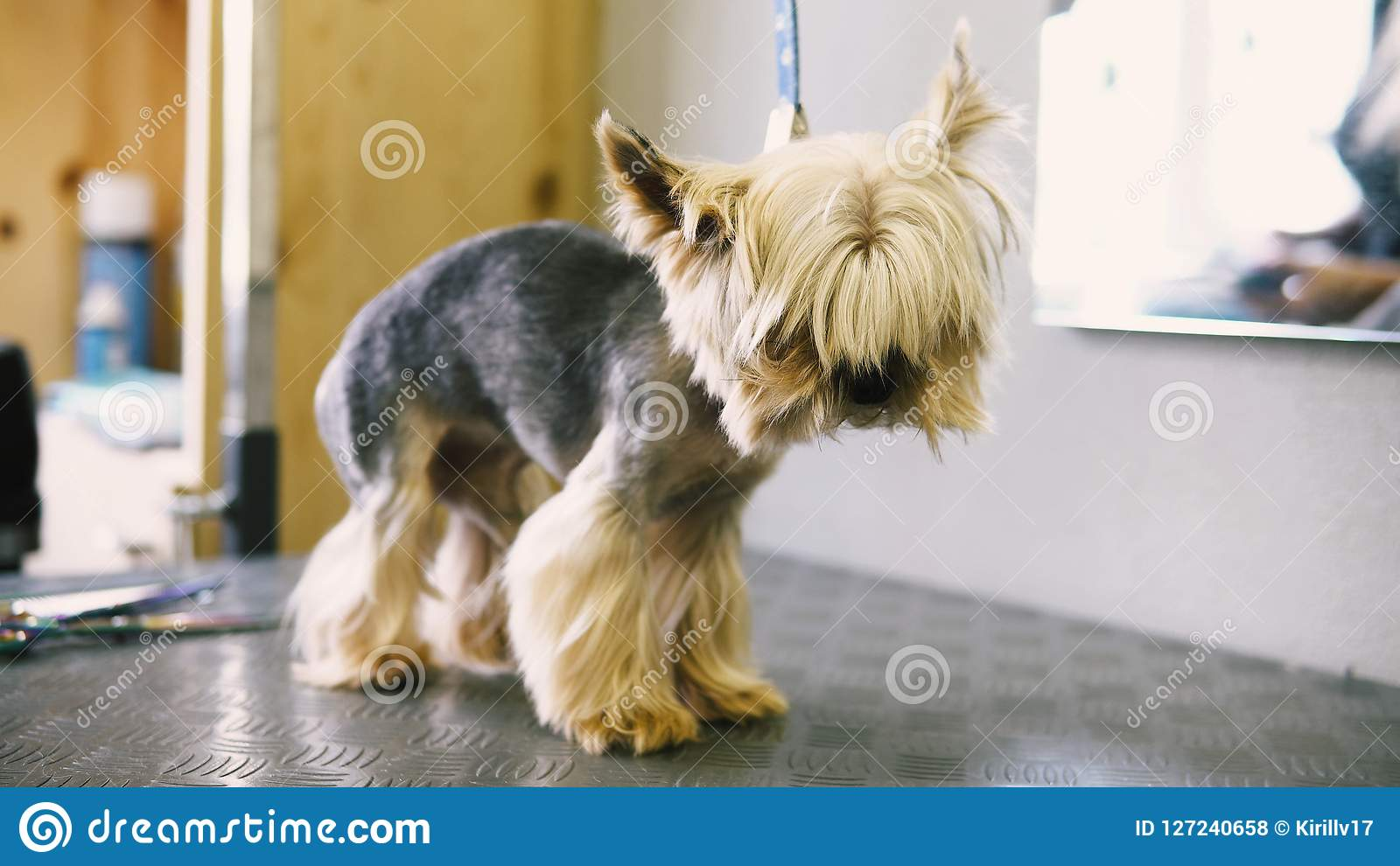 Dog Haircut In The Salon Care For Yorkshire Terriers Stock Photo