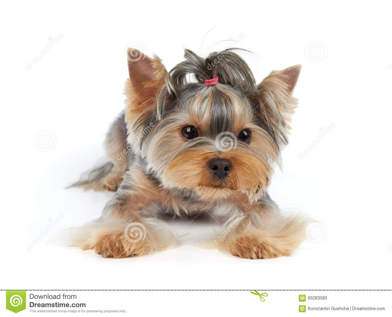 Yorkie Short Haircut Stock Images Download 47 Royalty Free Photos