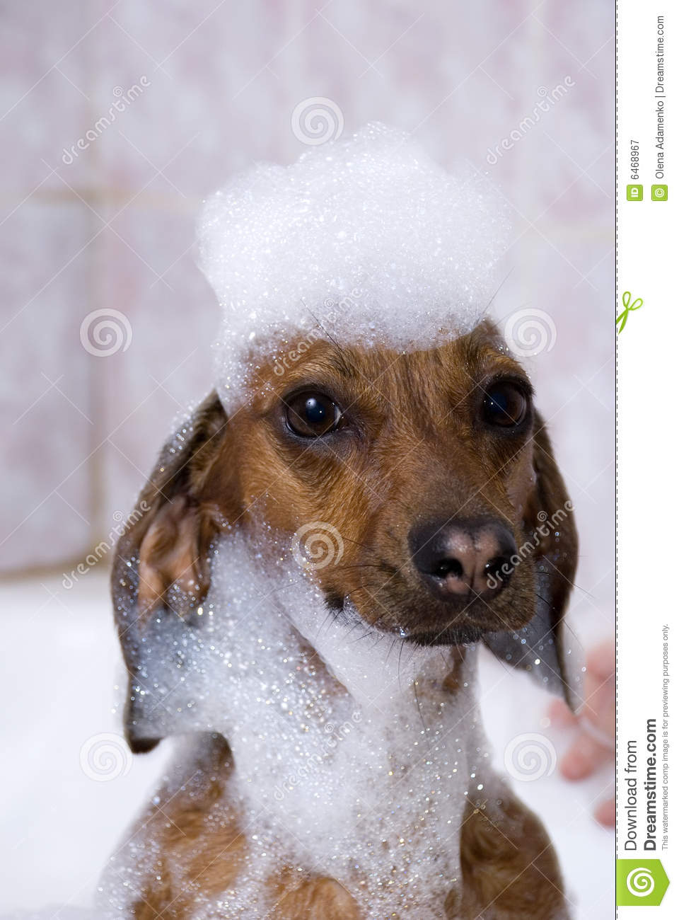 Download The dog have a bath stock image. Image of gloves, health - 6468967