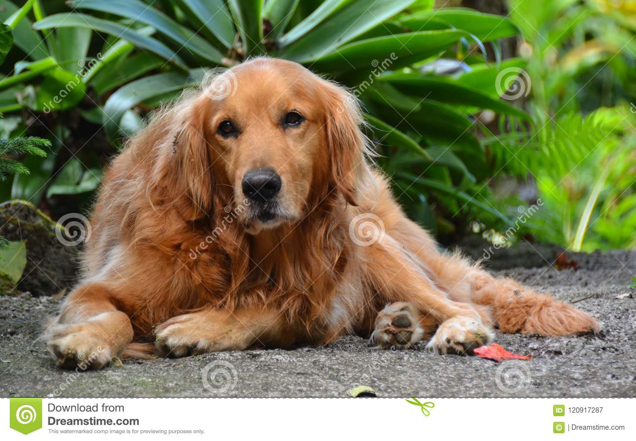 Dog Having A Bad Day Stock Image Image Of Looking Kona 120917287