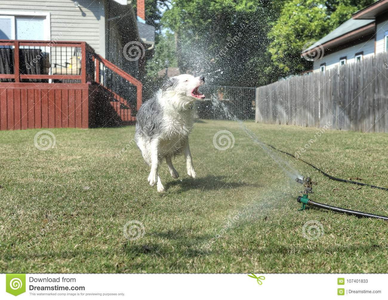 Backyard Pets dog having fun biting water in the backyard stock image - image of