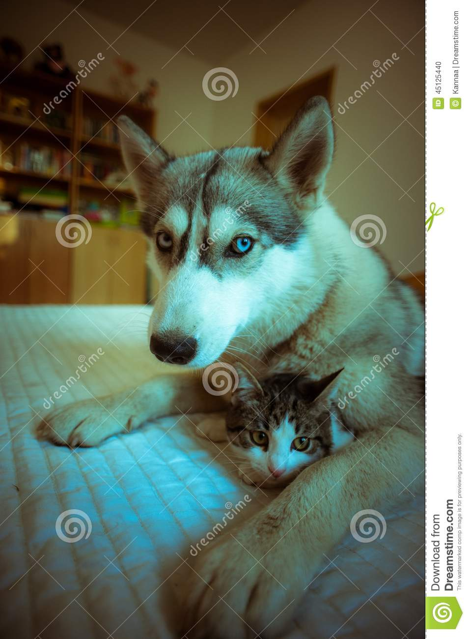 the dog hugs a cat cute blue eyed husky puppy and stock