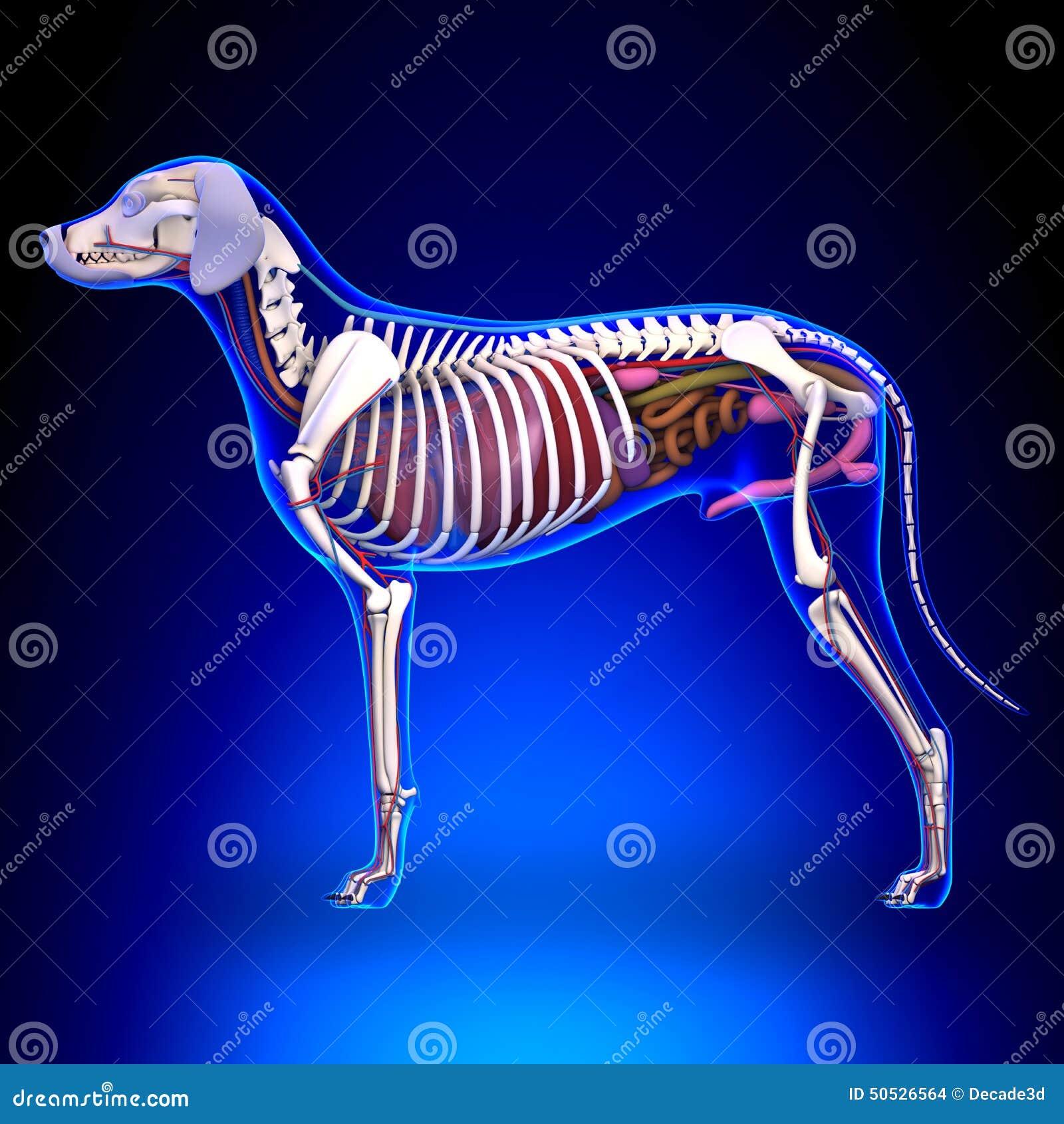 Dog Internal Organs Anatomy - Anatomy Of A Male Dog Internal Org ...