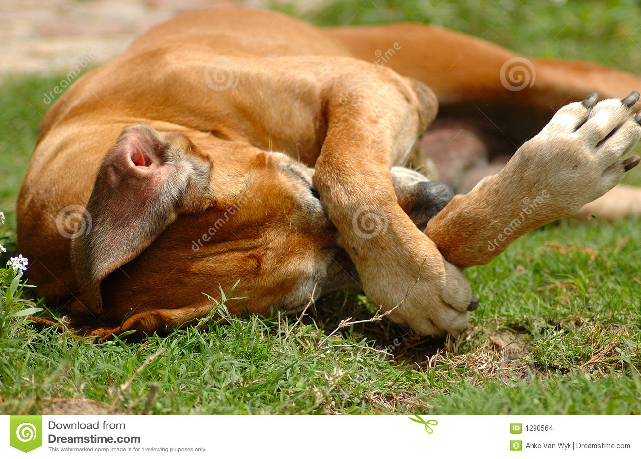 dog itchy scratching stock images   image 1290564