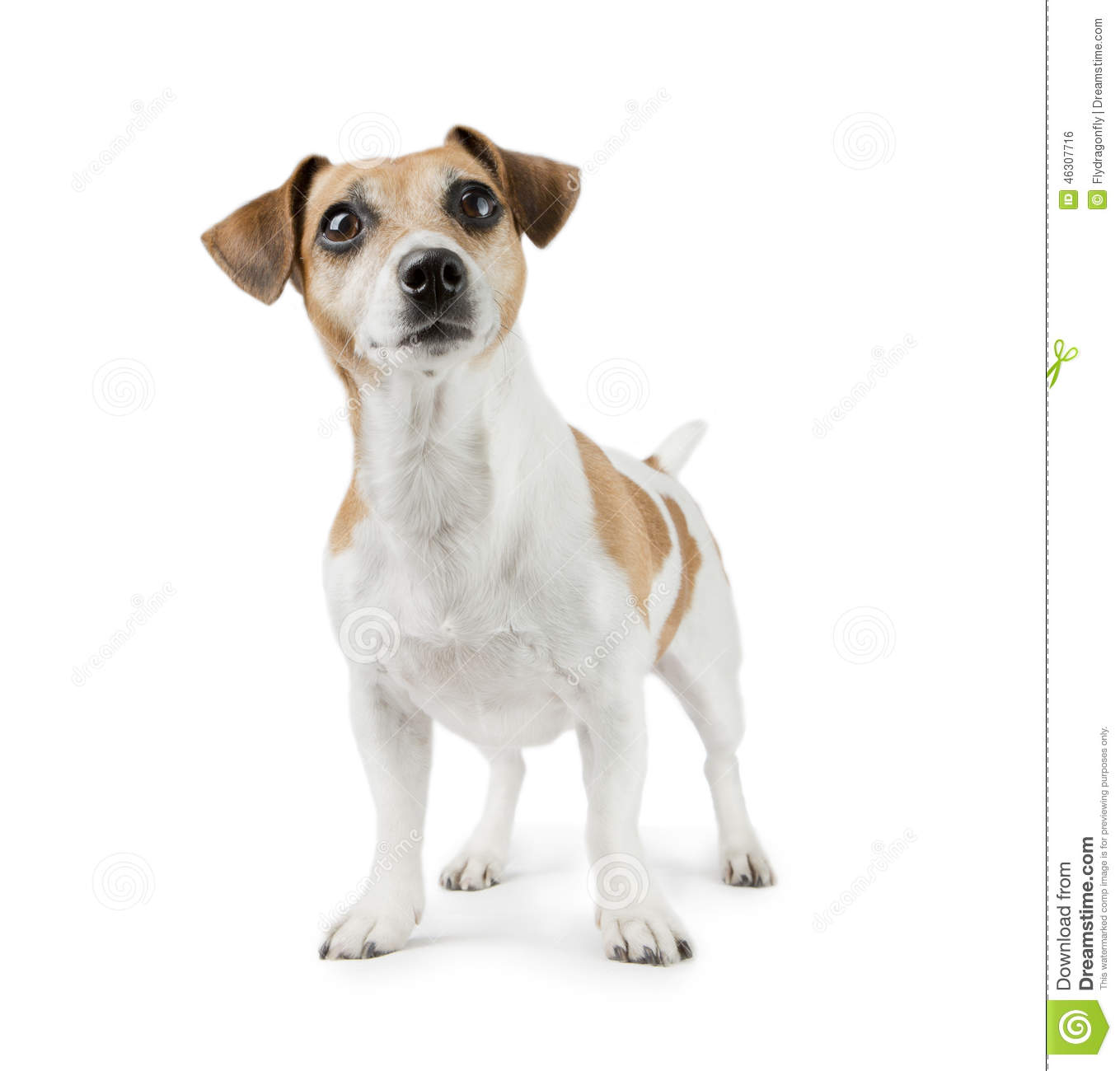 Dog Jack Russell Free To Good Home