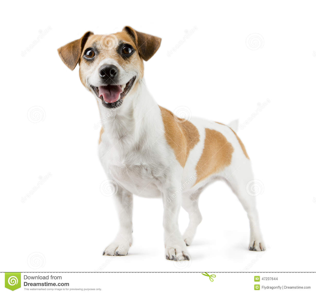dog jack russell terrier in full length stock photo