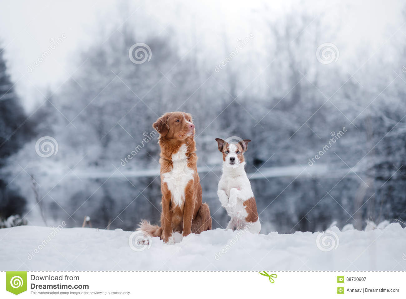 Dog Jack Russell Terrier and a Nova Scotia Duck Tolling Retriever outdoors