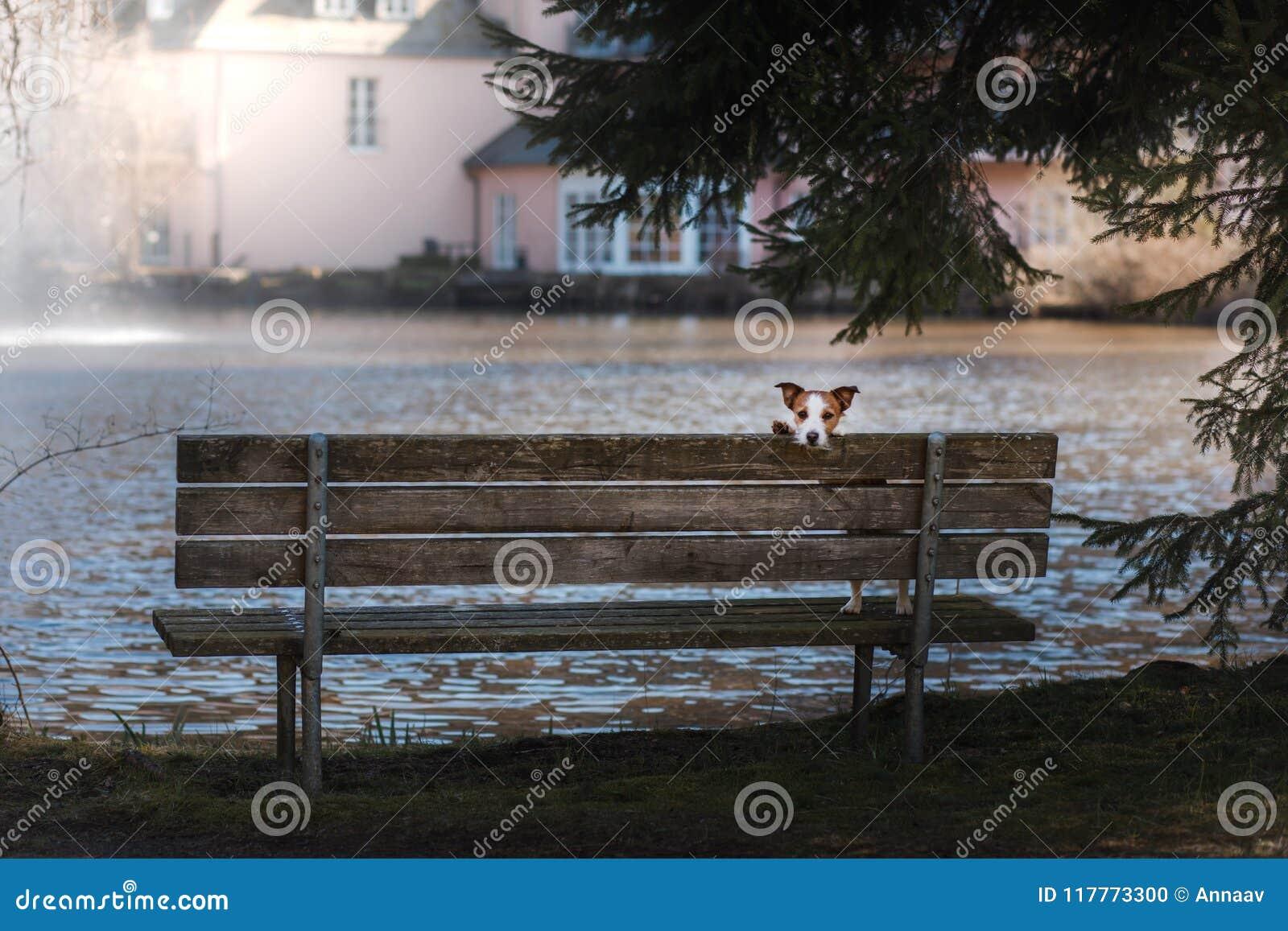 Prime Dog Jack Russell Terrier Sits On A Bench Outside Stock Frankydiablos Diy Chair Ideas Frankydiabloscom
