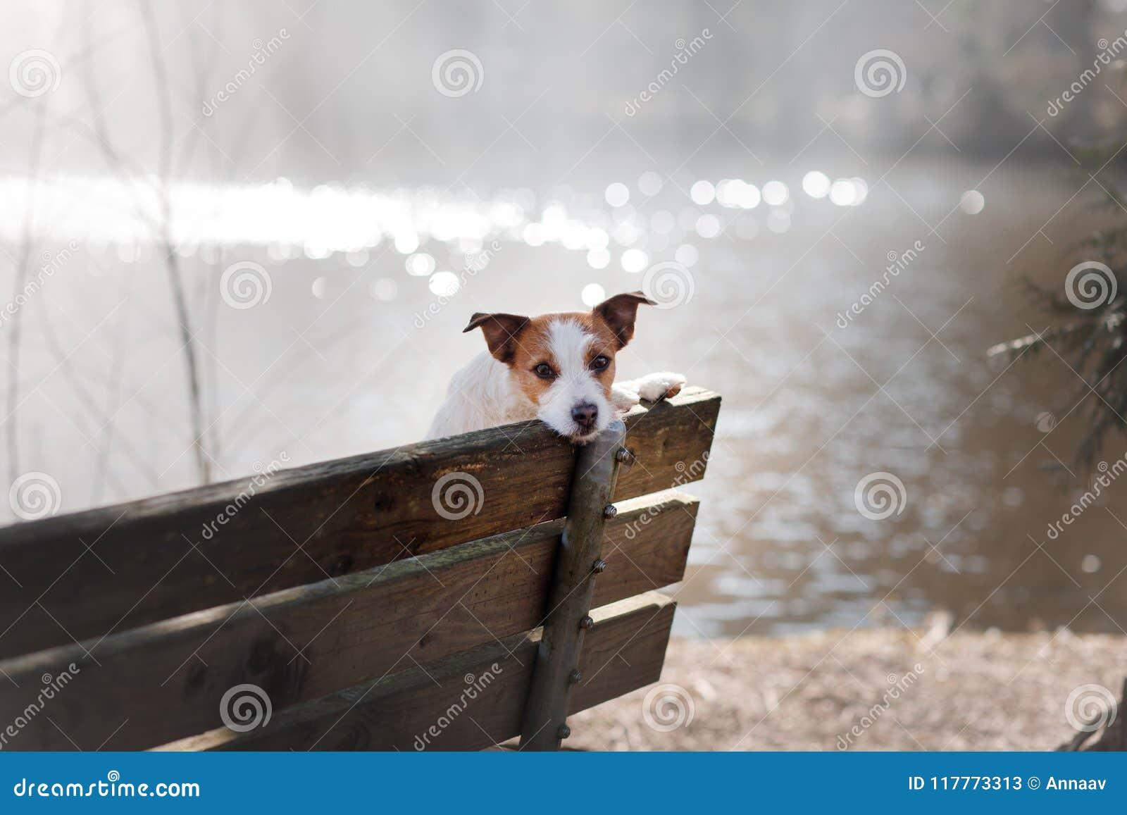 Groovy Dog Jack Russell Terrier Sits On A Bench Outside Stock Frankydiablos Diy Chair Ideas Frankydiabloscom