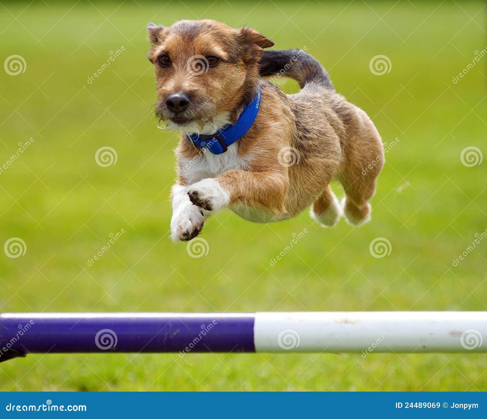 Dog training jumping on visitors
