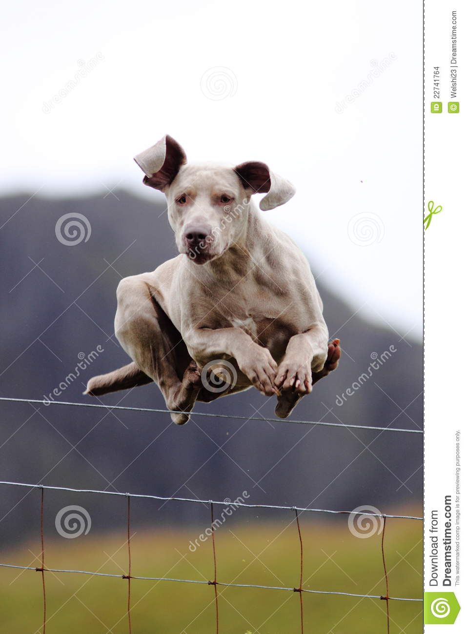 Dog Jumping Over Fence Stock Photo Image Of Jumping