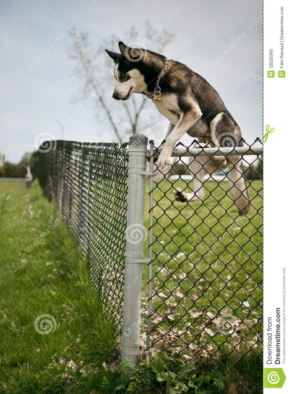 Dog Jumping Over An Outdoor Dog Park Fence Stock Photo