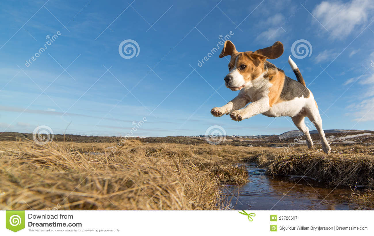 Download A dog jumping over water stock image. Image of sunny - 29720697