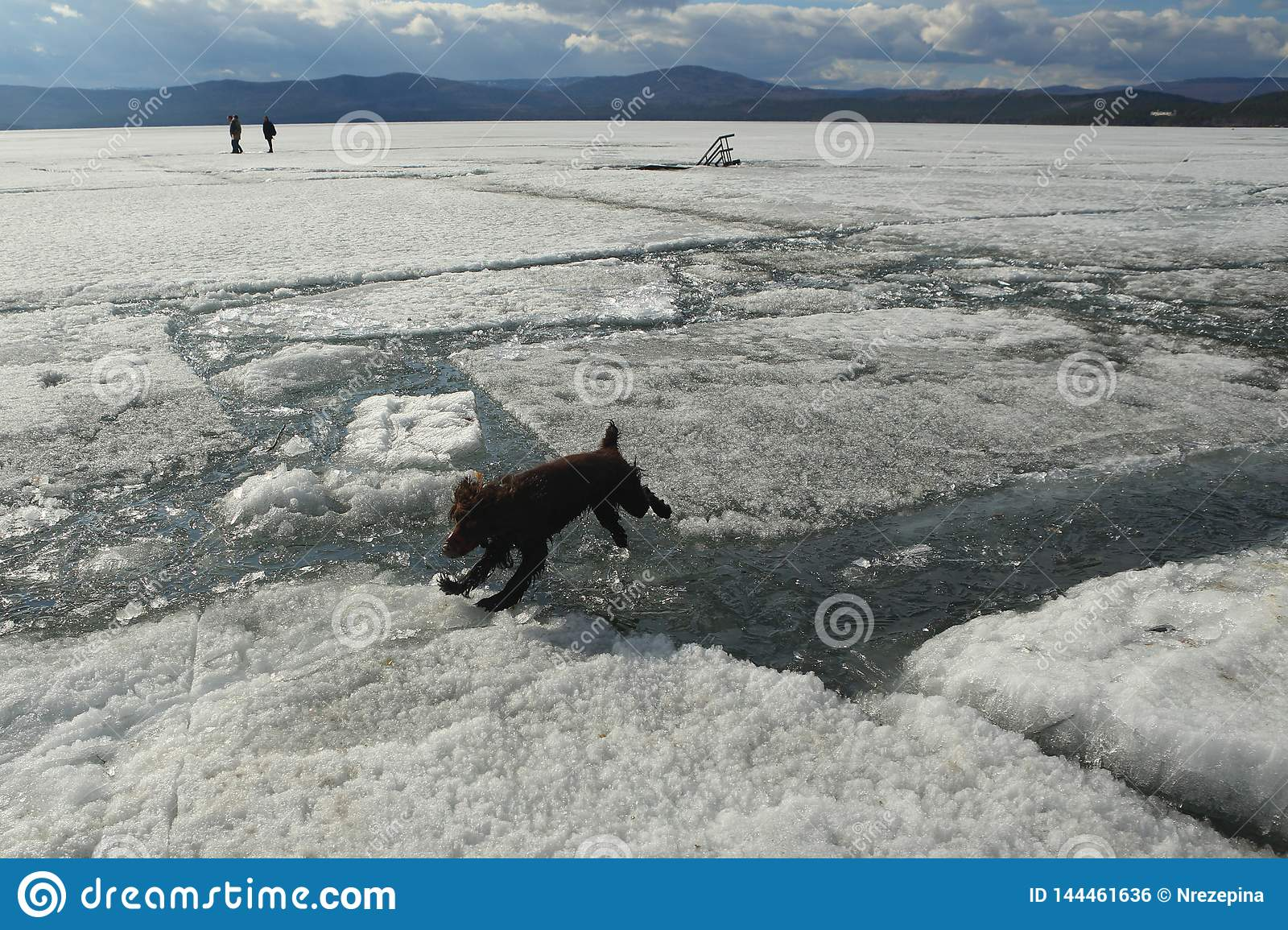 The dog jumps from the lions to the ice during the ice drift on the lake