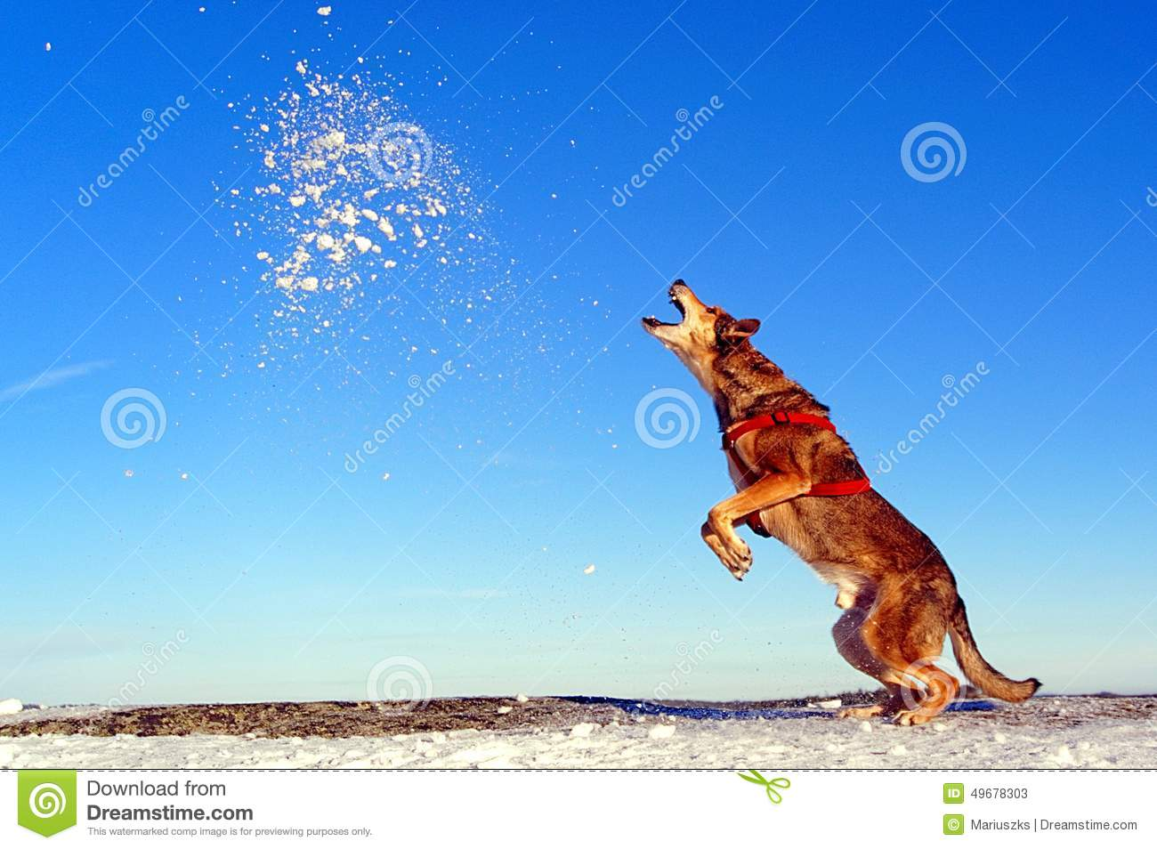 The dog jumps up into the snow